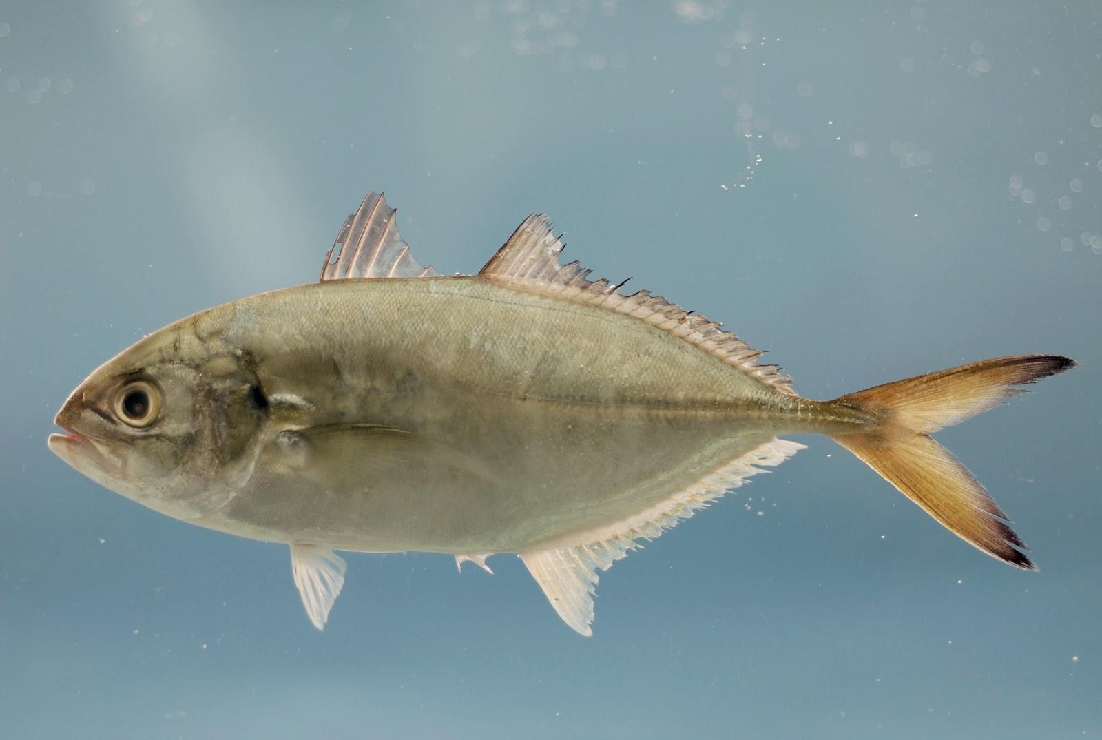 Peixe Xerelete (Caranx crysos)