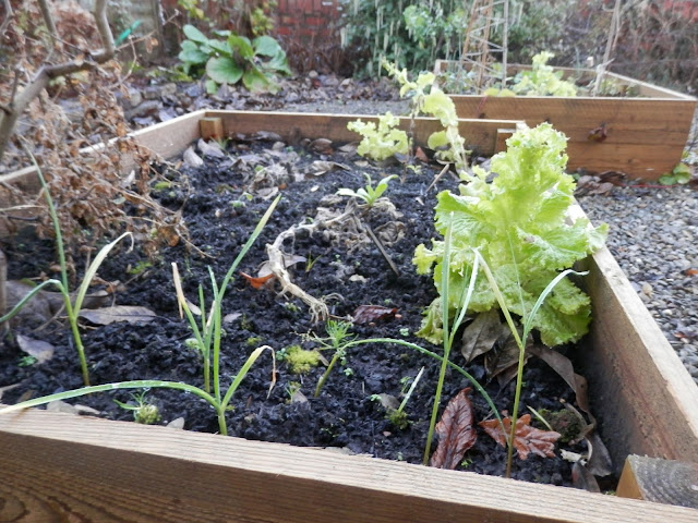 Diary of a suburban edible garden, January 2017. By UK garden blogger secondhandsusie.blogspot.com #gardening #garden #suburbangarden #ediblegarden #composting #nodig