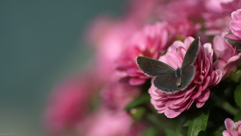 Beautiful Pink Butterfly Wallpaper - Pink Flower Wallpapers