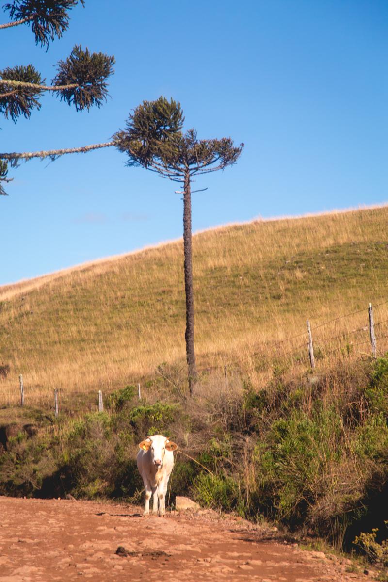 vacas na estrada - serra gaúcha