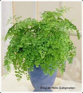 Işığa İhtiyaç Olmadan Yetişen Salon Bitkileri nelerdir?  Bakımı 3