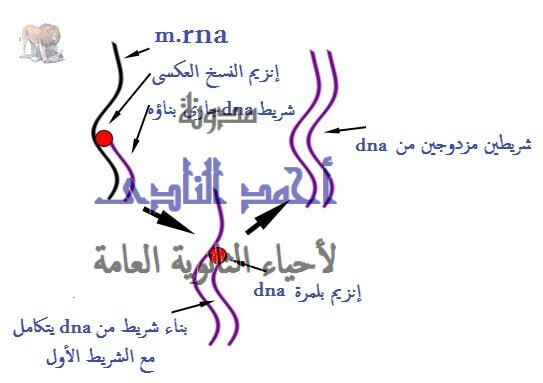 إستنساخ تتابعات dna -  عملية الإستنساخ – الحصول على قطع dna – إنزيمات القطع – القصر البكتيرية – أحياء الثالث الثانوى