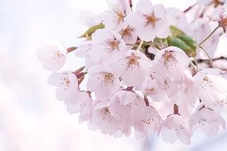 Gambar Bunga Sakura Paling cantik di Jepang 14000