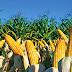 Economia| MT tem queda na produção de milho em relação à safra passada