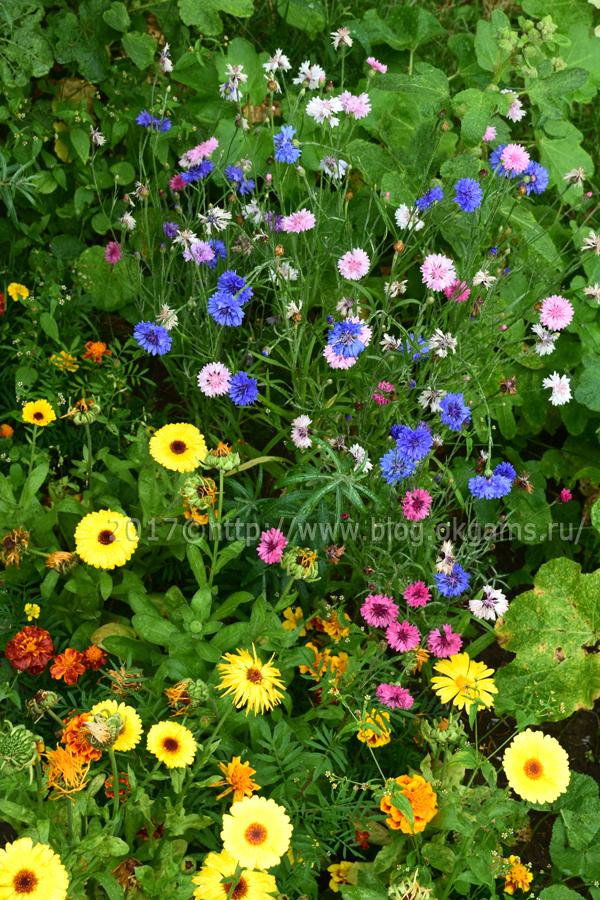 Настоящие цветы васильки