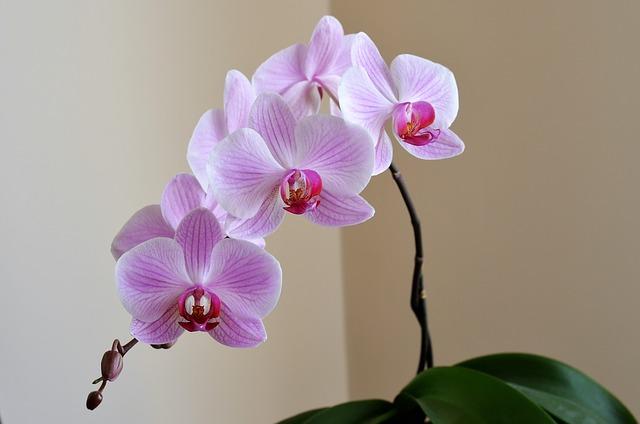 hoa lan hồ điệp đẹp 7