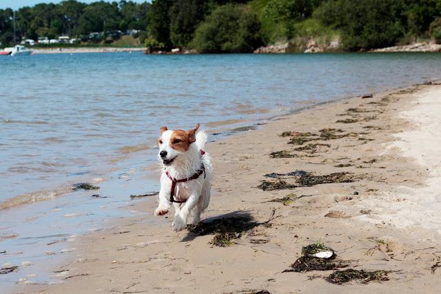 Amy correteando por la playa de la Maza de San Vicente de la Barquera
