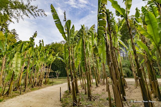 Plátanos de la Bambouseraie en Cévennes, Francia por El Guisante Verde Project