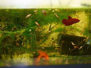 Informasi Seputar Perikanan Cara Merawat Burayak Ikan Cupang Agar Tidak Mati