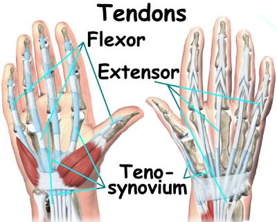 Thumb flexor tendons