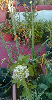 Flores de la cebolla en Fichas de Plantas