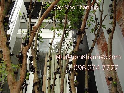 Đăng tin rao vặt: Chuyên cung cấp cây nho thân gỗ chất lượng Mua-ban-cay-nho-than-go-4a