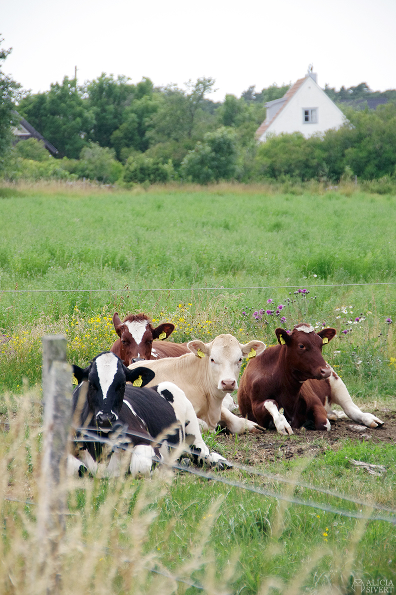 alicia sivert alicia sivertsson aliciasivert augstens kor cow cows cattle ko kossa kossor gotland storsudret sudret referensbild referens referensfoto