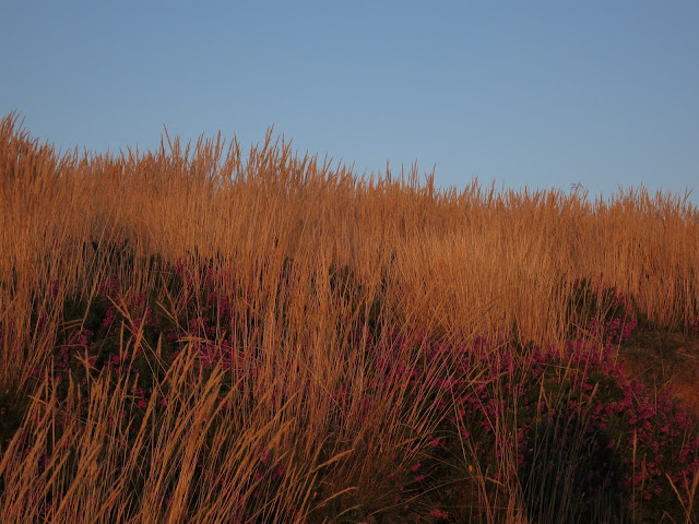 Grass and heather, gold in the light of late afternoon.