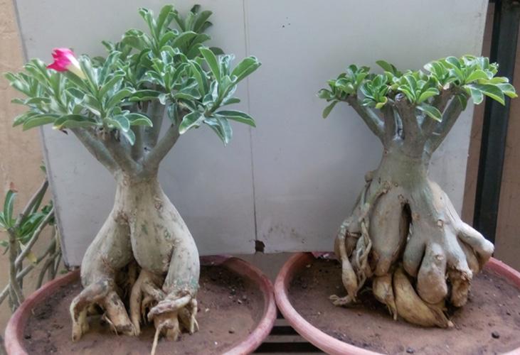 Buy Adenium Bonsai Plants Online in Jaipur   Bonsai
