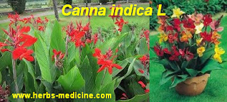 Hemorrhoids use Canna indica