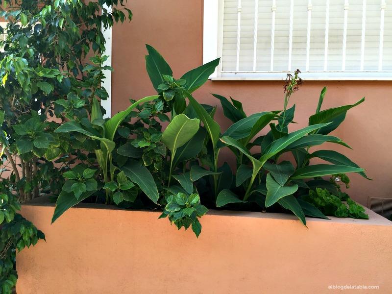 calas (Zantedeschia) y Ficus benjamina