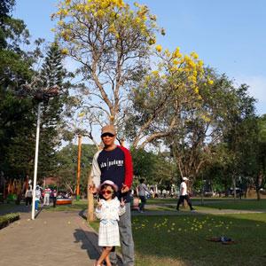 Pohon Tabebuya Kuning di Alun-alun Kota Malang
