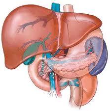 BOLESTI JETRE I GUŠTERAČE: Anatomija jetre