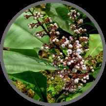 macca root, khasiat maca root, manfaat akar maca, obat kuat biomate, biomate kiens, suplemen biomate,