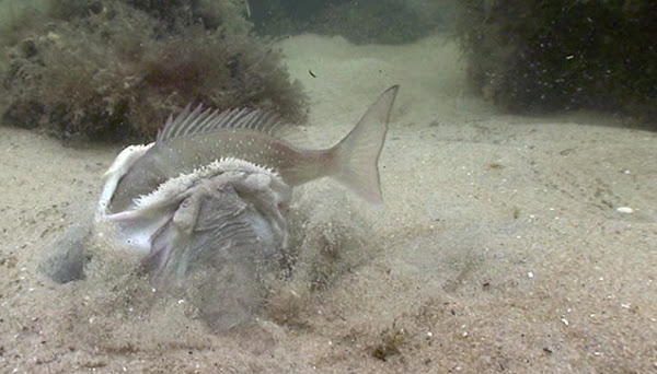 Watch the video of the hunter while capturing its prey.
