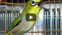 Cara Merawat Burung Pleci yang Baik dan Benar Versi Mbayuli.com