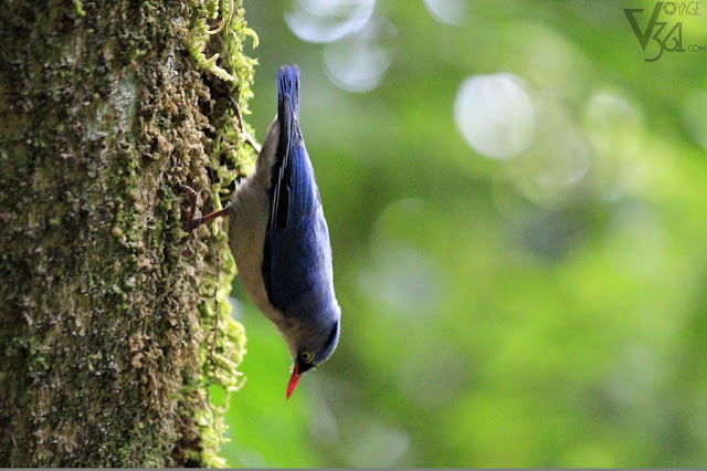 Velvet-fronted nuthatch at Ooty