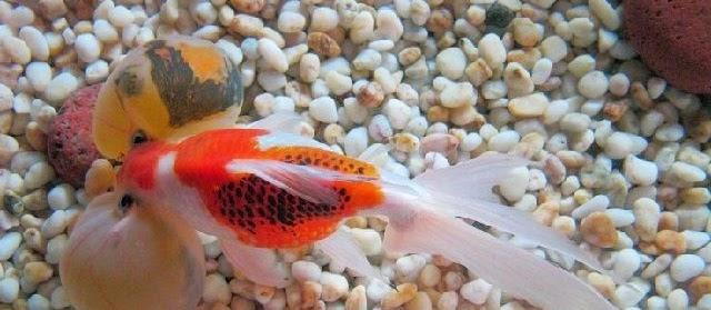 Mengenal Ikan Mas Koki Bubble Eye (Mata Balon)