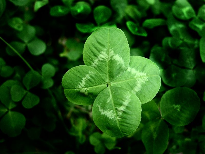 Penn State Extension Philadelphia Master Gardeners Phony Shamrocks