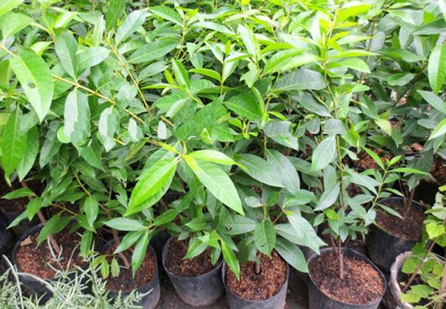 cách trồng và chăm sóc cây vối