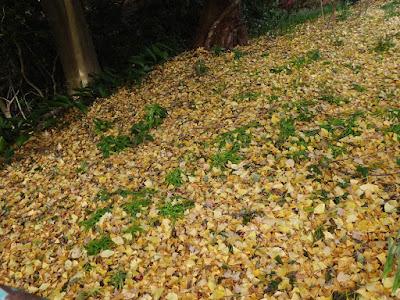獅子窟寺 銀杏の木 落ち葉