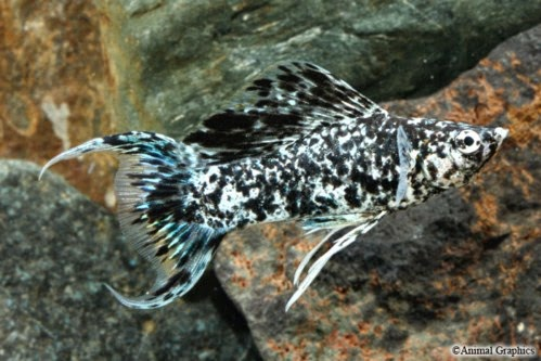 Dunia Ikan Hias - Marble Lyretail Molly