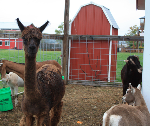 Alpacas and goats enjoy visiting with guests at Richardson Adventure Farm in Spring Grove, Illinois.