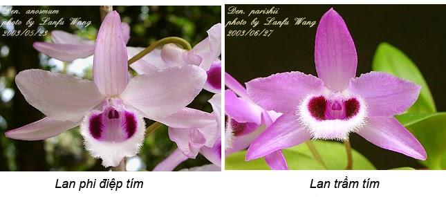 Phân biệt lan phi điệp tím (Den. Anosmum) và lan trầm tím (Den. Parishii)