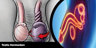 Testis Hormonları
