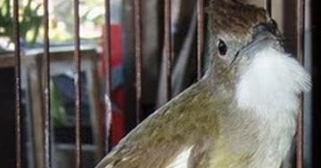 Tips Membedakan Burung Kapas Tembak Jantan Dan Betina Lowongan Gawe