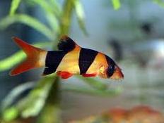 Jenis Ikan Hias Air Tawar Botia