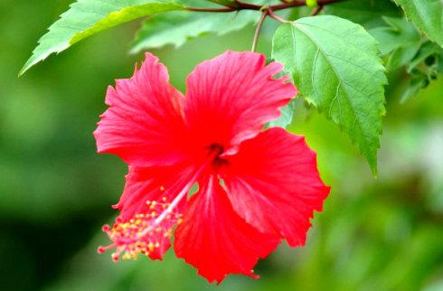 Kenali Malaysia Bunga Kebangsaan