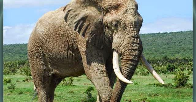 900+ Gambar Gajah Pointilis