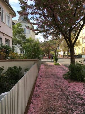 Ein rosafarbener Blütenteppich auf dem Gehweg inmitten heller Häuser