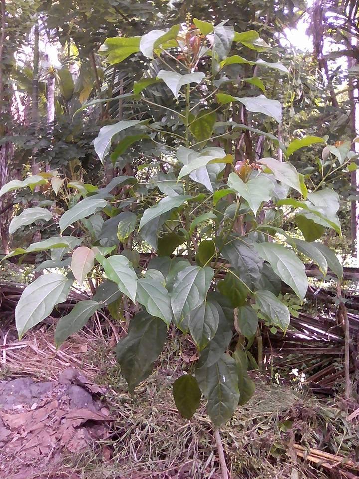 gambar pohon polokyo