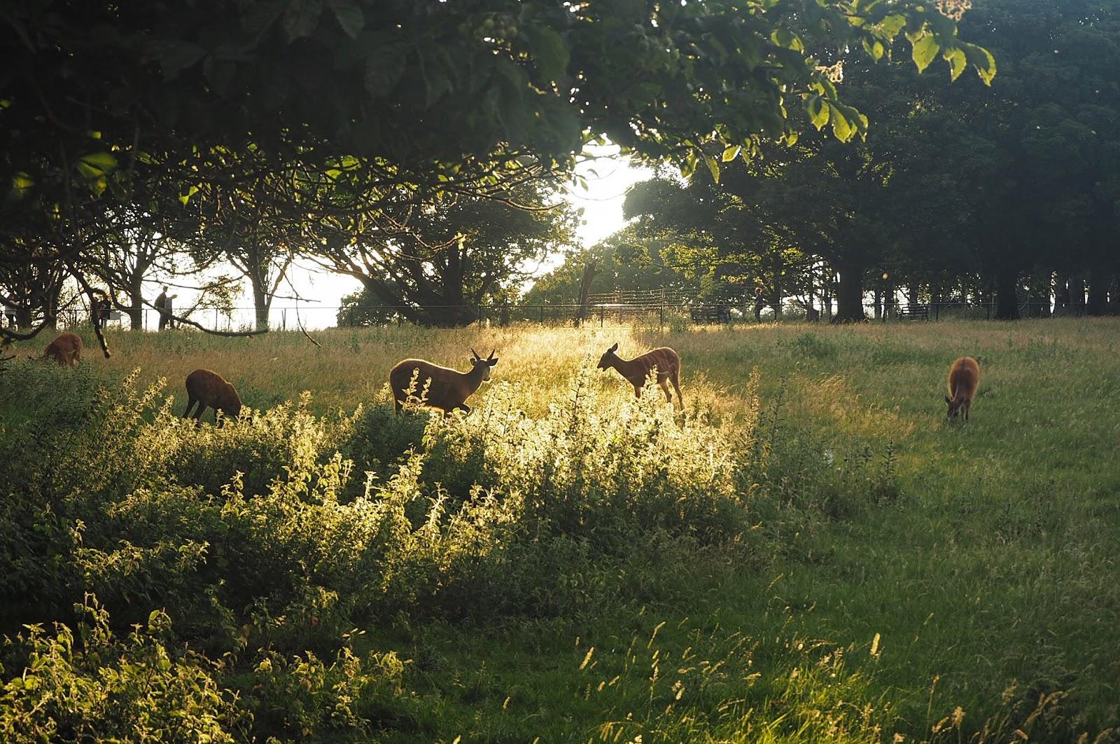 Deer at dusk ZSL Whipsnade Zoo