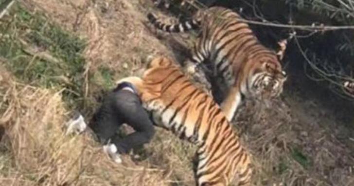 Pria ini Tewas Diterkam Harimau karena Kecerobohannya