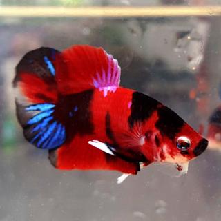 Perbedaan antara Ikan cupang Fancy dan ikan cupang Koi