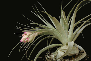 Tillandsia gardneri care and culture