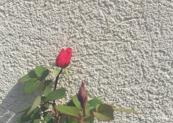 A magenta rosebud against a stucco wall / www.thejoyblog.net