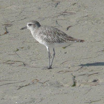 Florida Suncoast Birding: Long-billed Curlew at Bunche Beach