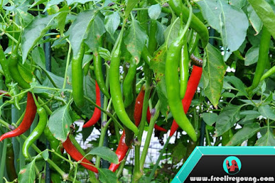 How to take care Chilli Plant