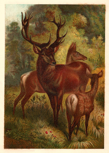 Antique Free Animal Graphic 1885 Red Deer