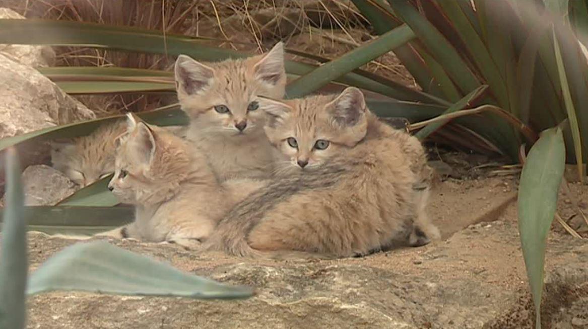 Chats des sables à Lyon